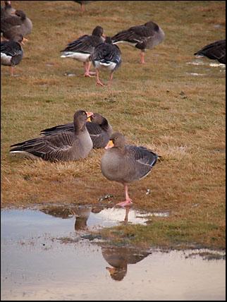Geese in Reykjavik