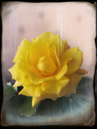 yellow rose vintage style