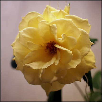 godmorning yellow rose